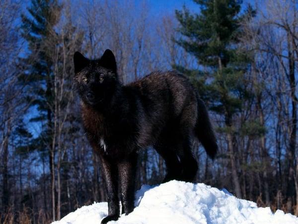 Lobo Negro_800
