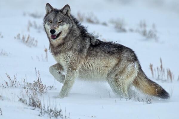Qué-es-el-lobo-Características-y-comportamiento