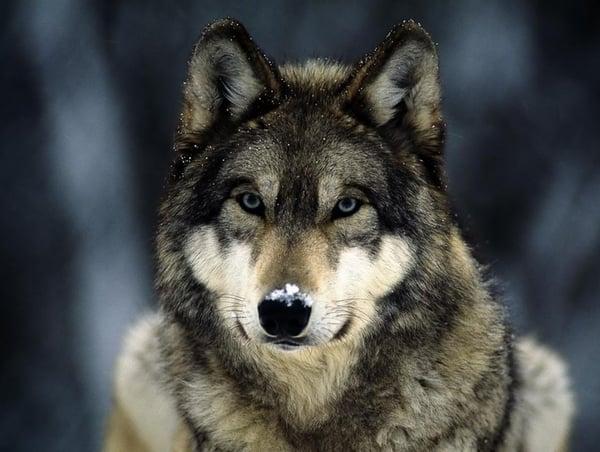 lobo-alaska